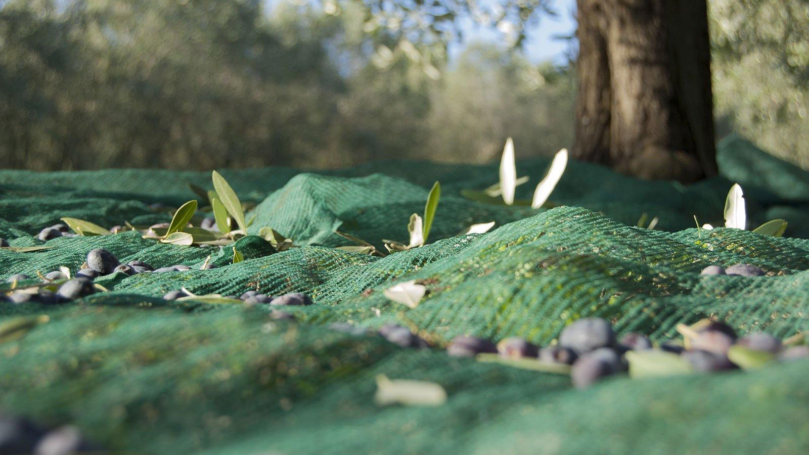 frantoio valdelsano racconta olive